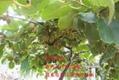 奇异果种苗 1