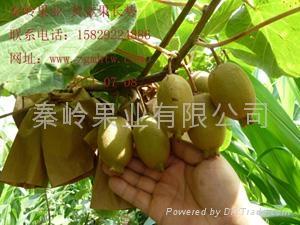 奇异果种苗 2