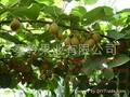 奇异果种苗 3