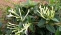 Honeysuckle Flower P.E.