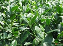 Green Tea P.E