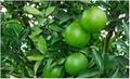 橙皮甙苷 1