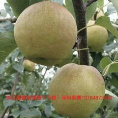 玉露香梨苗木、种条