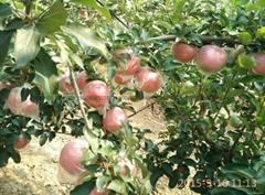 中秋王蘋果苗