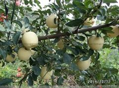 维纳斯黄金富士苹果