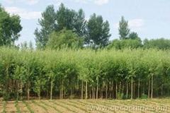 供應黑松樹苗 高1米以上