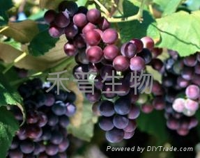 Grape Seed Extract 95% 1