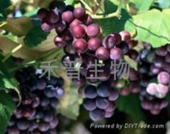 葡萄籽提取物(OPC)95%