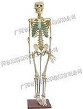 人體骨骼模型