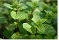 bulk manufacturer wholesale natural pure peppermint essential oil low prices 2