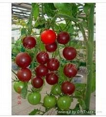 美国黑番茄种子