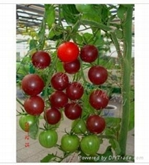 美國黑番茄種子