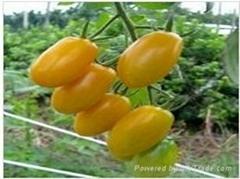 台湾农友金妃樱桃番茄种子