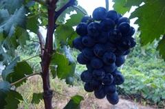 黑色甜菜葡萄