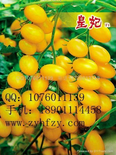 大棚种植圣女果番茄 1