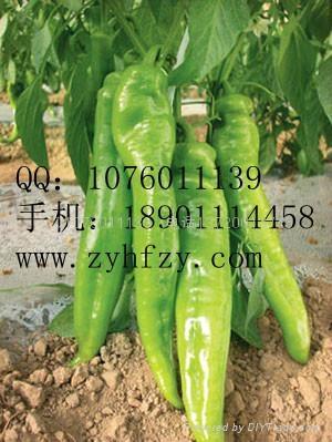 西洋牛角椒种子 1