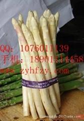 進口蘆筍種子杰立姆