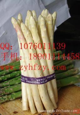 帝王蘆筍種子 2