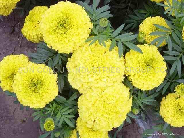 Marigold oleoresin/xanthophyll