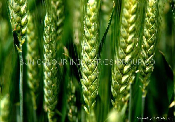 Wheat plumule oil/Wheat-germ oil