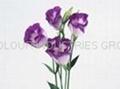 Basic Violet 3 USP25