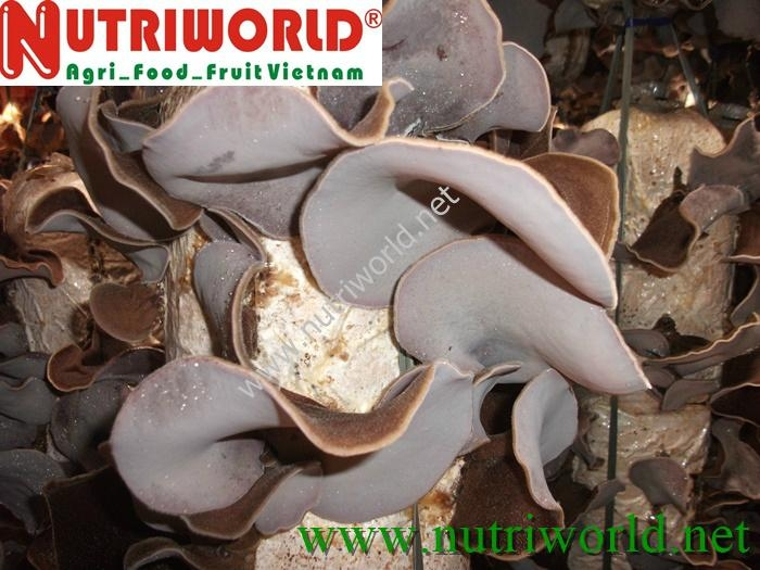 Black Fungus mushroom 3