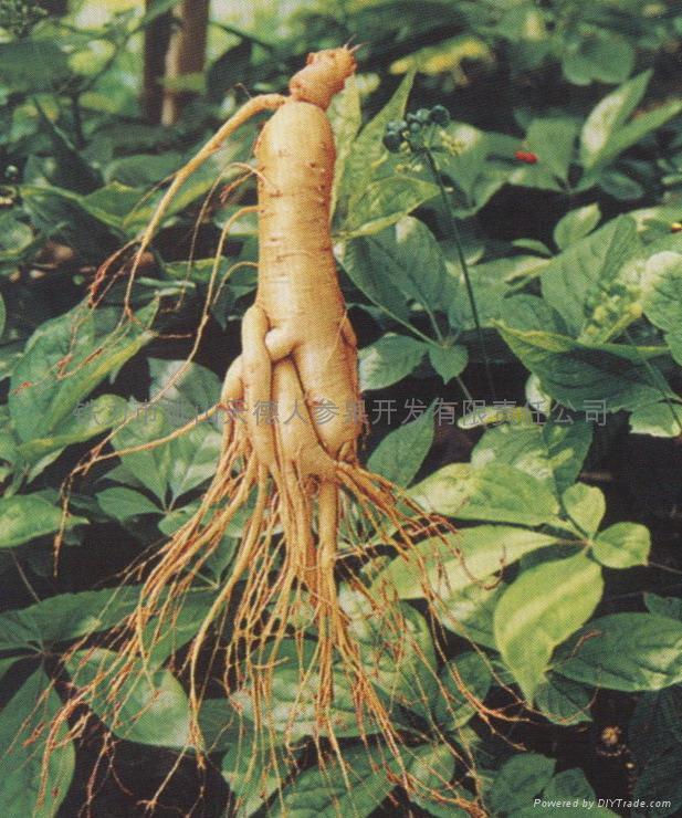 Certified Organic Panax Ginseng Roots NOP/ EC889/2008 2