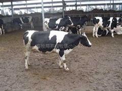 奶牛犢價格