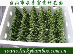 lucky bamboo---pyramid