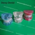 dental Teeth model tooth model teaching dental teeth