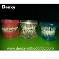 dental Teeth model tooth model teaching