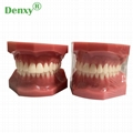 High Quality Dental Model Teeth Model Typodont Dental