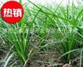 三台小叶绿化麦冬草