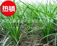三台小葉綠化麥冬草