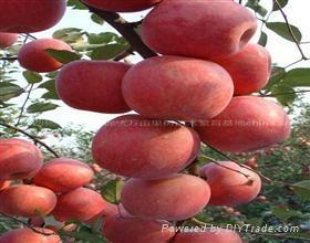 陝西蘋果苗 1