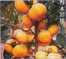 陕西柿子苗
