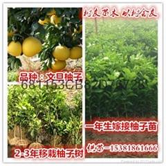 文旦柚子苗1-5年