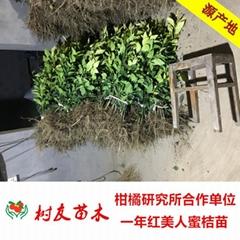 树友苗木长年1-5年橘子苗