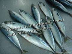 Frozen Mackerel(chub mackerel,pacific mackerel,blue mackerel)