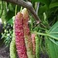 果桑良种 大型玫瑰果桑苗批发 3