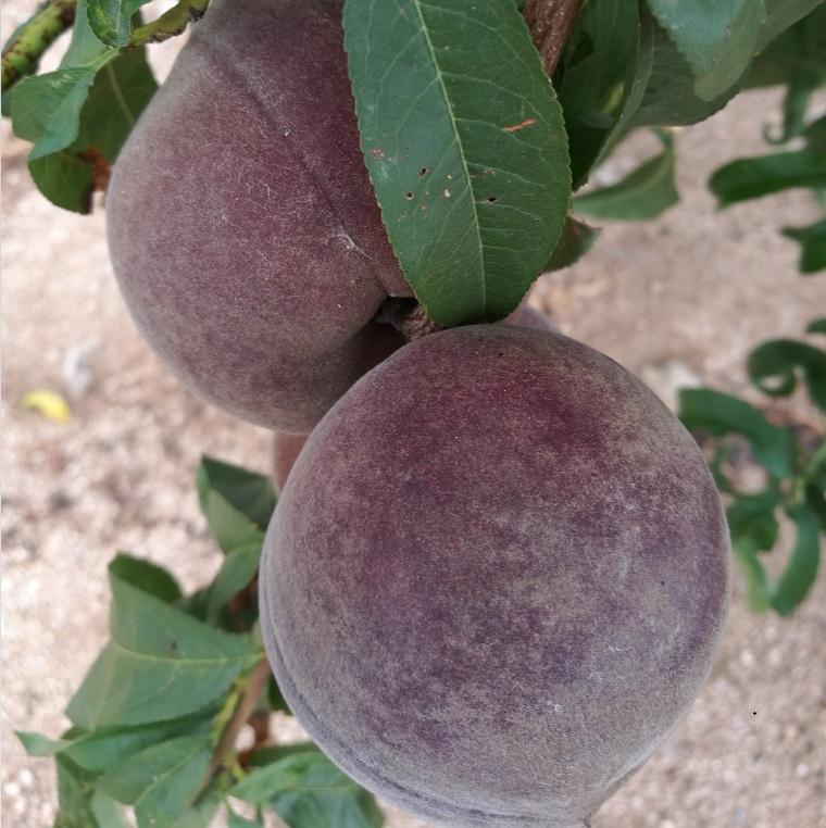 新品种桃苗 新品种桃树苗 黑桃树苗批发 3
