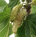 果树苗 桑果种苗 大型玫瑰果桑苗批发 2