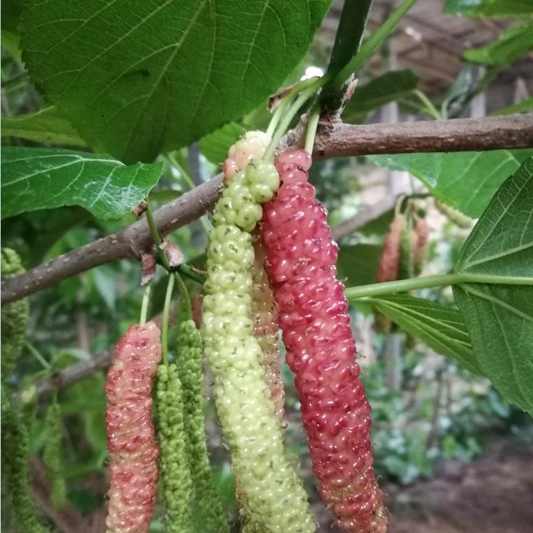 果桑新品种 长果桑苗 大型玫瑰桑葚品种 3