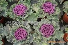 真開心陽台菜園蔬菜盆景——羽衣甘藍