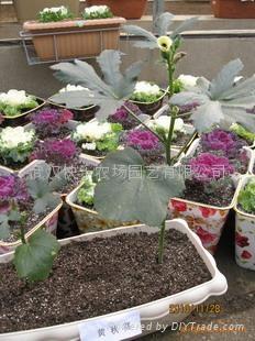 真開心陽台菜園蔬菜盆景——羽衣甘藍 2