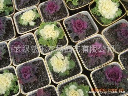 真開心陽台菜園蔬菜盆景——羽衣甘藍 4