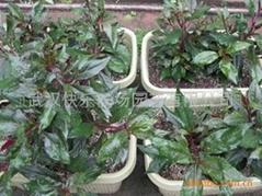 陽台菜園紫背天葵