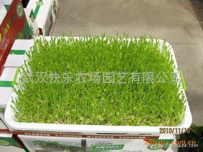 芽苗菜無公害蔬菜 2