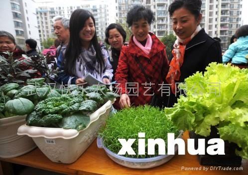 芽苗菜無公害蔬菜 3