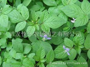 湖北特色蔬菜白花菜種子 1